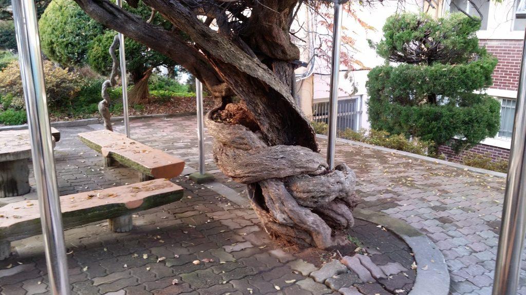 호신대정원등나무